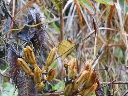 レンゲツツジの冬芽と果実